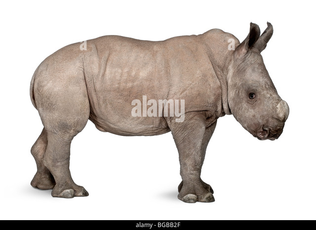 Young White Rhinoceros or Square-lipped rhinoceros, Ceratotherium simum, 2 months old, in front of a white background - Stock Image