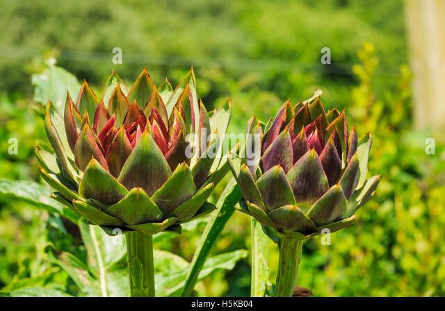 a  globe artichoke - Cynara cardunculus Scolymus - flower heads showing red colour - Stock Image