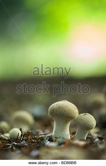 Lycerpodon Perlatum. Puffball mushrooms in an english woodland. Oxfordshire. UK - Stock Image