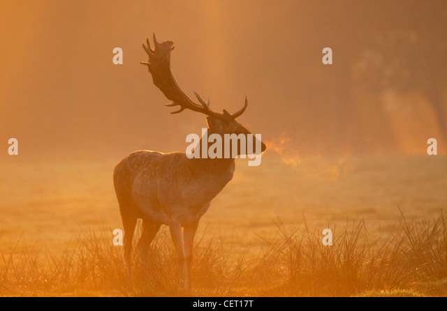 A Fallow Deer standing in Norfolk countryside in the morning mist. - Stock Image