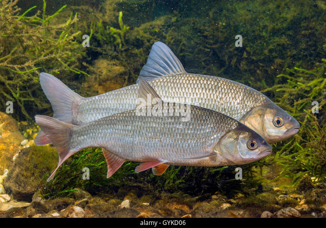 Idus stock photos idus stock images alamy for Goldorfe fisch