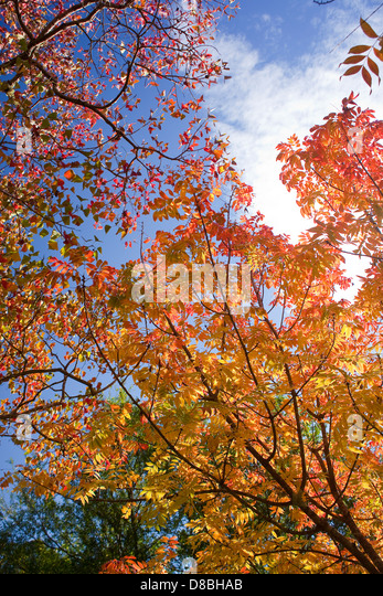 Brightly coloured Autumn leaves against a blue sky. - Stock-Bilder