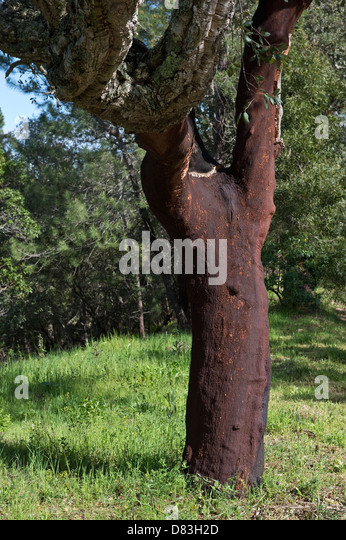 Cork Oak (Quercus suber) tree with bark harvested about 10 months ago São Brás de Alportel Algarve Portugal - Stock Image