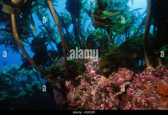Rocky reef with encrusting organisms Underwater forest of kelp Ecklonia radiata Mayor Island New Zealand Depth 15 - Stock Image