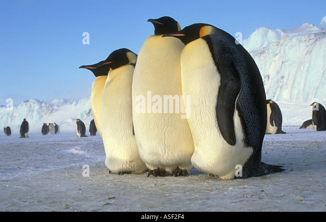Emperor penguin Aptenodytes forsteri 4 adults close together on fast sea ice near colony Cape Crozier Ross Island - Stock Image