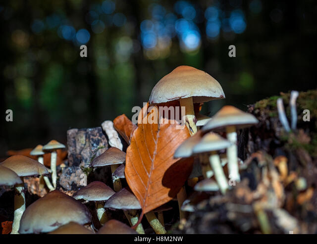 Sulphur Tuft (Hypholoma fasciculare) fungus on the stump of a dead tree in Eartham Wood, Sussex, during early autumn - Stock Image
