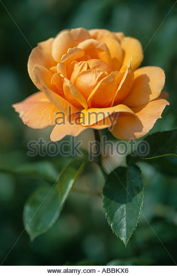 Rosa 'Southampton' - Rose - Stock-Bilder