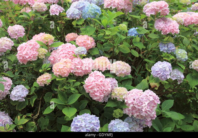 hydrangea macrophylla, many blooms with different colors on one plant. Photo by Willy Matheisl - Stock Image