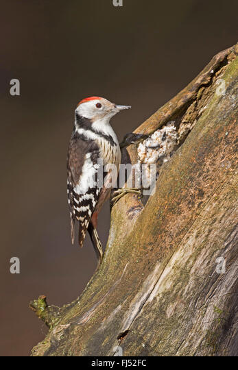 middle spotted woodpecker (Picoides medius, Dendrocopos medius), searching food at a rotten tree trunk, handmade - Stock Image