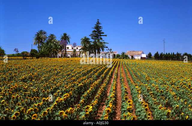 Spain Andalusia Finca sunflowers - Stock Image