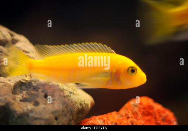 Yellow tang aquarium stock photos yellow tang aquarium for Yellow fish tank water