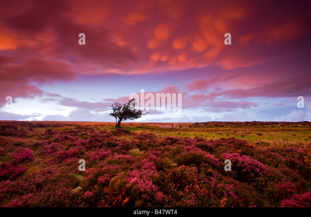 Stormy sunset over the heather carpeted Dunkery Hill Exmoor National Park Somerset England - Stock Image