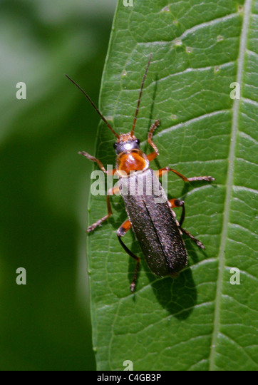 cantharidae stock photos amp cantharidae stock images alamy