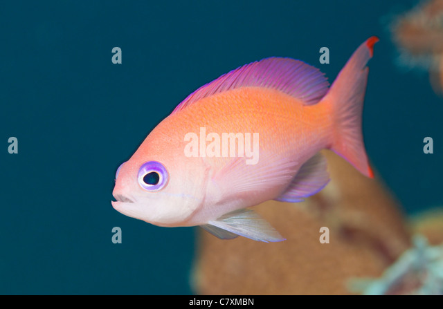 Female Stocky Anthias, Pseudanthias hypselosoma, Cenderawashi Bay, West Papua, Indonesia - Stock Image