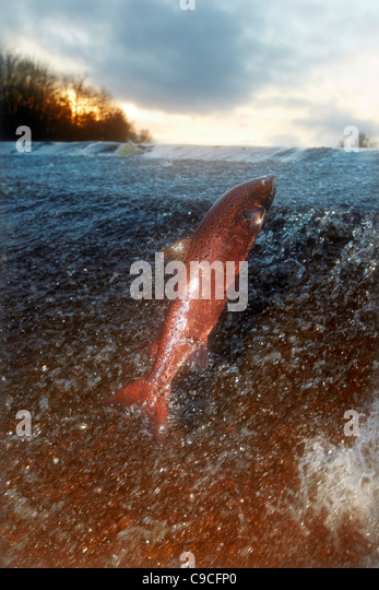 Wild Atlantic Salmon, Salmo salar leaping upstream at the Ettrick water cauld, Philiphaugh, Selkirk, Scotland, UK - Stock Image