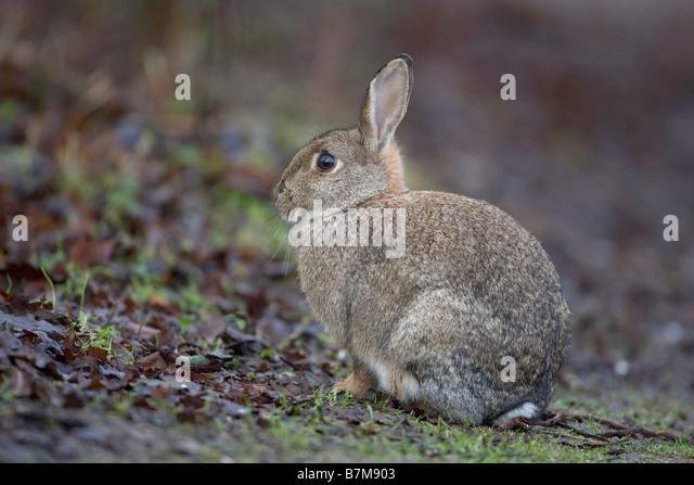 European Rabbit Oryctolagus cuniculus - Stock Image