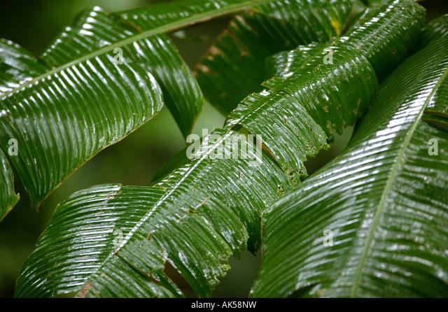 wet heliconia leaves in Metropolitan park in Republic of Panama - Stock-Bilder