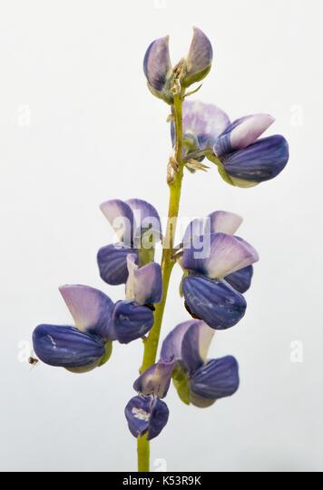 Purple Lupine Flower Isolated on White Background - Stock Image