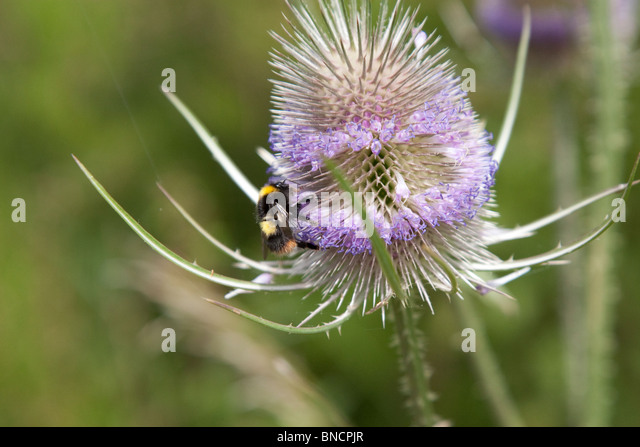 Bee on wild teasel. - Stock Image