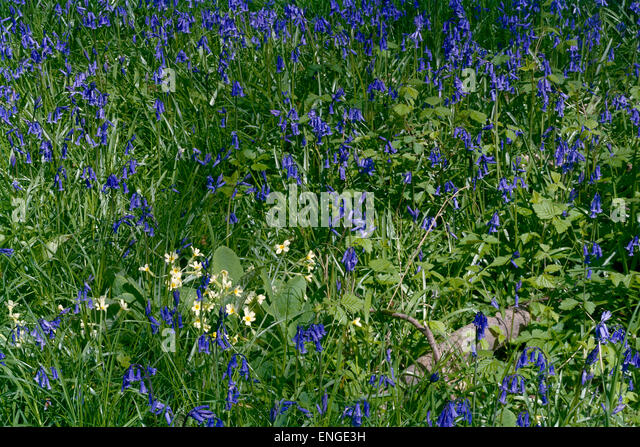 English bluebells and false oxlip in  Cambridgeshire woodland - Stock Image