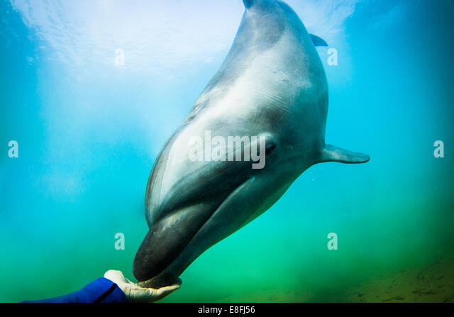 Human hand touching a Dolphin swimming in ocean, Philippines - Stock Image