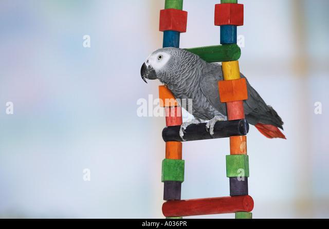 Congo African Grey parrot on ladder - Stock-Bilder