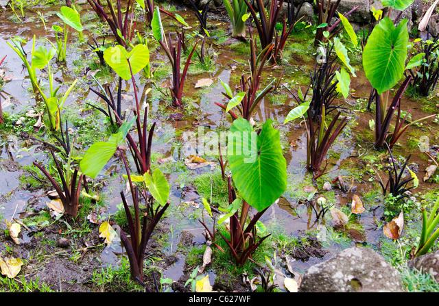 how to grow taro root