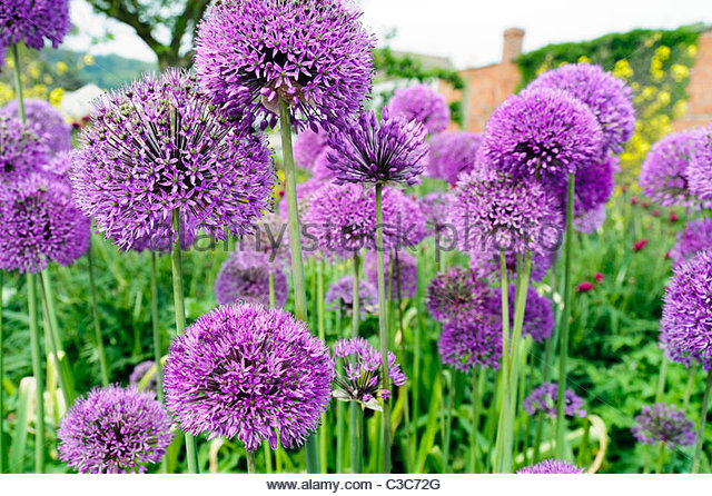 Purple alliums flowering in an English garden border, UK. Allium flowers in a spring display, planted in a garden - Stock Image