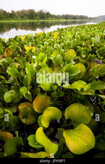 Waterplants at the riverside of Rio Chagres, Soberania national park, Republic of Panama. - Stock-Bilder