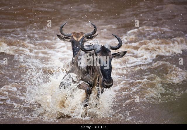 Wildebeest migration crossing the Mara River.Masai Mara National Reserve. Kenya - Stock-Bilder