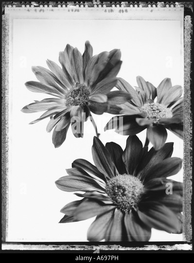 Close-up of three daisies. - Stock Image
