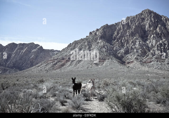 USA, Nevada, Red Rocks State Park, First Canyon, Wild burros - Stock Image
