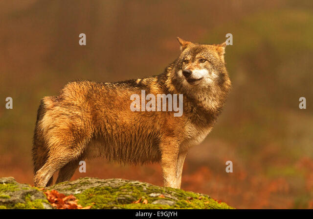 Captive male Grey Wolf looks over his shoulder, Bavarian Forest National Park, Germany - Stock-Bilder