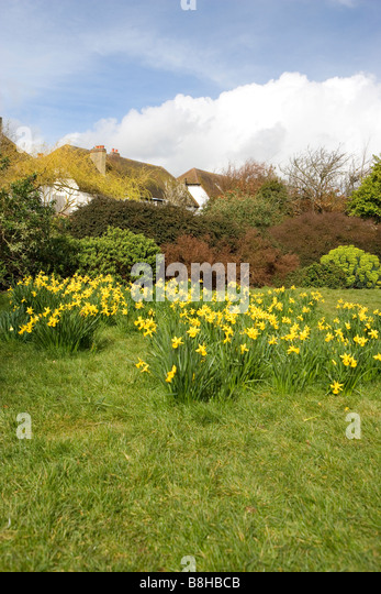 Daffodils in a park. - Stock Image
