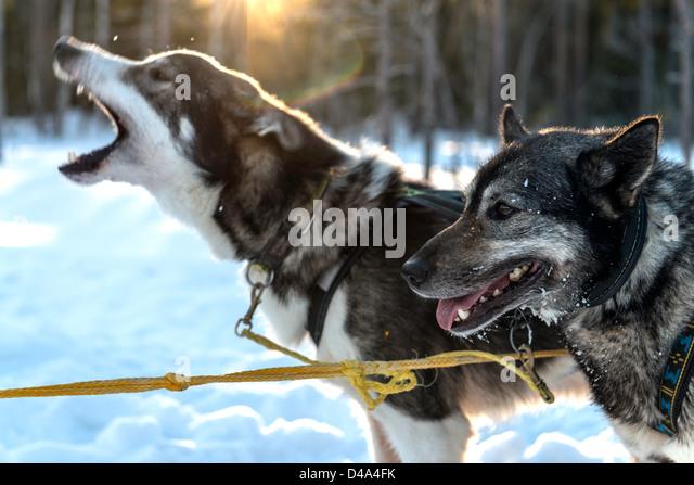 Dog sledding led by husky dogs Swedish Lapland Sweden Scandinavia - Stock Image