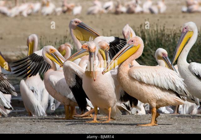 Great White Pelicans (Pelecanus onocrotalus ) at lake Nakuru (Kenya). - Stock Image