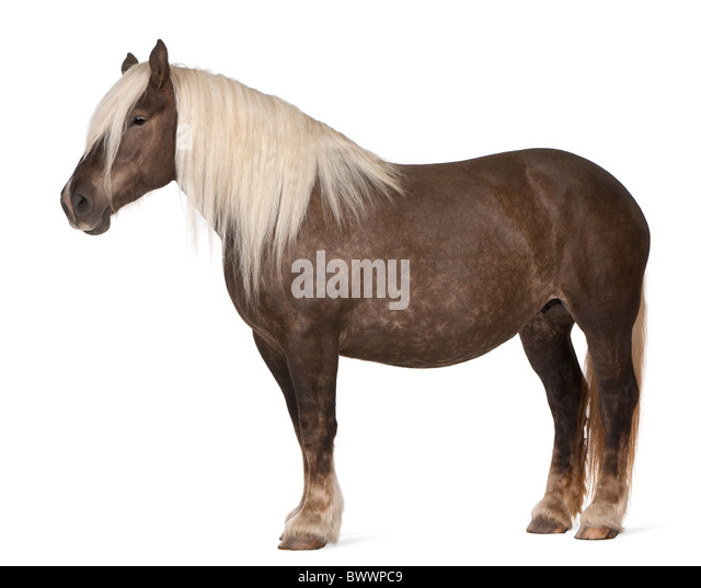 Comtois horse, a draft horse, Equus caballus, 10 years old, standing in front of white background - Stock Image