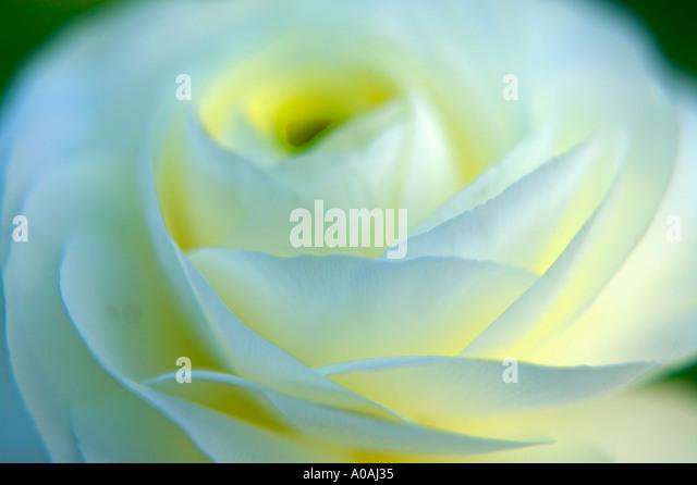 White Ronuculus - Stock Image
