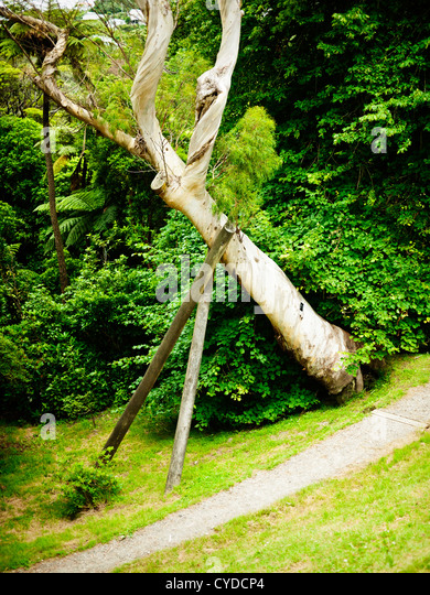 Support - tree held up by wooden poles, New Zealand. - Stock Image