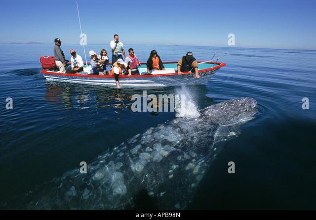 Gray whale Eschrichtius robustus - Stock-Bilder