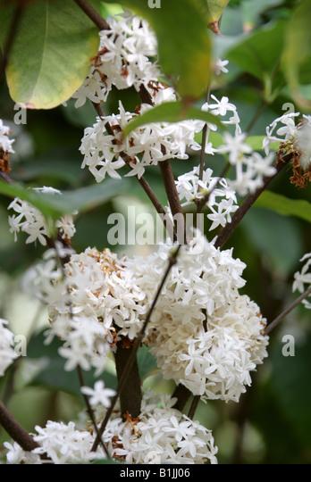 Pleiocarpa mutica Apocynaceae Tropical West Africa - Stock-Bilder