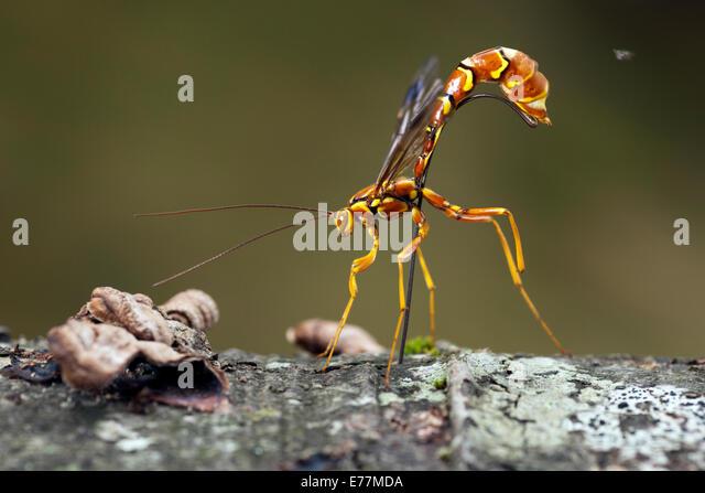 Female Giant Ichneumon Wasp (Megarhyssa macrurus) - Pisgah National Forest - Brevard, North Carolina USA - Stock Image