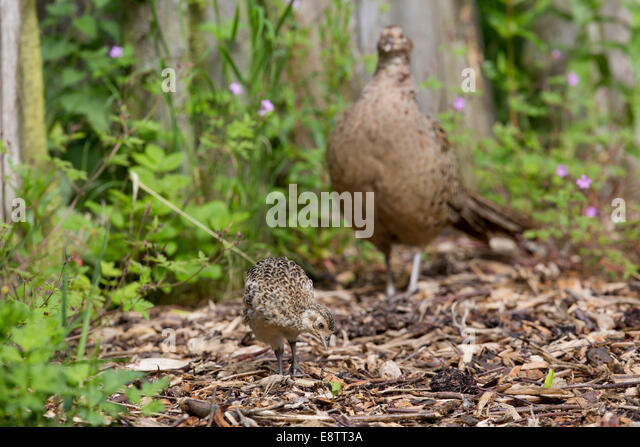 Young Pheasant Stock P...