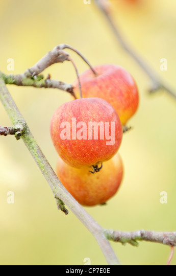 Malus prunifolia var Macrocarpa, Crab apple, Red. - Stock Image