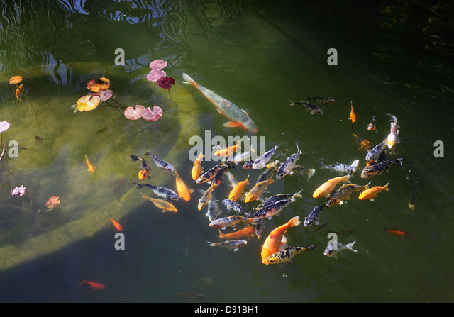 Goldfish variety stock photos goldfish variety stock for Pond fish varieties