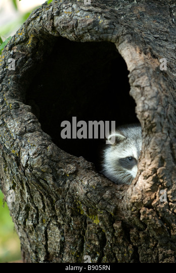 Raccoon peeking out from a hole in a tree trunk - Stock Image