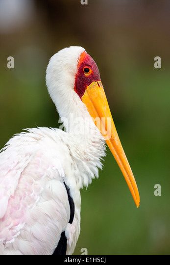 Portrait of Yellowbilled Stork (Mycteria ibis), Lake Nakuru National Park, Kenya, Africa - Stock Image