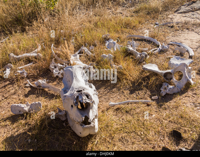 Skull and bones of a rhino likely killed for its horn in poaching in Matobo National Park, Zimbabwe, Africa - Stock Image