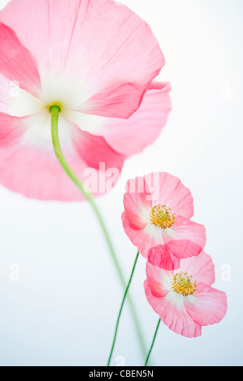 Papaver rhoeas 'Angel's choir', Poppy, Red pink flower subject. - Stock Image
