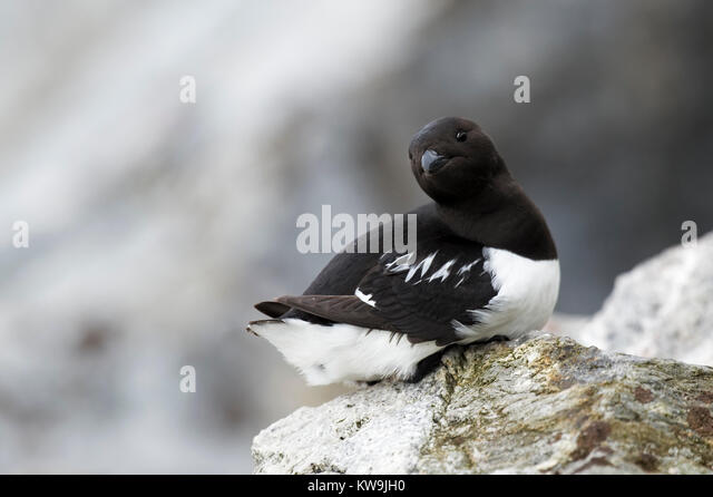Little Auk - Stock Image